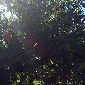信州の林檎